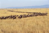 Gerry Ellis - Blue Wildebeest herd migrating, Masai Mara National Reserve, Kenya