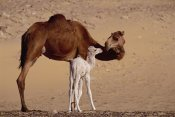 Gerry Ellis - Dromedary camel with two day old baby, Oasis Dakhia, Sahara, Egypt