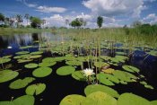 Gerry Ellis - Water Lily in bloom, Okavango Delta, Botswana