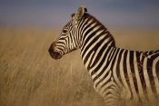 Gerry Ellis - Burchell's Zebra portrait, Masai Mara National Reserve, Kenya