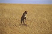 Gerry Ellis - Cheetah standing on rock in savannah, Masai Mara Reserve, Kenya