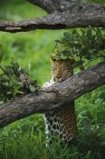 Gerry Ellis - Leopard female, scent marking a tree, Moremi Game Reserve, Botswana