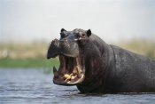 Gerry Ellis - Hippopotamus bull threat displaying, Dish Pan, Linyanti Swamp, Botswana