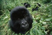 Gerry Ellis - Mountain Gorilla baby portrait, Virunga Mountains, Rwanda