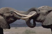 Gerry Ellis - African Elephant two bulls in greeting ritual, Amboseli National Park, Kenya
