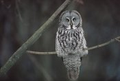 Gerry Ellis - Great Gray Owl portrait, North America