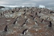 Gerry Ellis - Gentoo Penguin nesting colony, Port Lockroy, Wiencke Island,  Antarctica