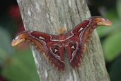 Gerry Ellis - Atlas Moth portrait, Asia
