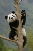 Katherine Feng - Giant Panda cub climbing tree, Wolong Nature Reserve, China