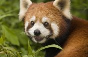 Katherine Feng - Lesser Panda portrait,  Wolong Nature Reserve, China