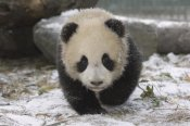 Katherine Feng - Giant Panda cub approaching, Wolong Nature Reserve, China