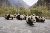 Katherine Feng - Giant Panda cubs, Wolong Nature Reserve, China