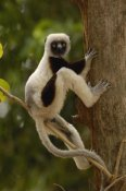 Pete Oxford - Coquerel's Sifaka in western deciduous forest, Madagascar