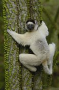 Pete Oxford - Verreaux's Sifaka sitting on Fantsiolotse spiny forest vegetation,  Madagascar