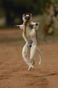 Pete Oxford - Verreaux's Sifaka hopping, vulnerable, Berenty Reserve,  Madagascar
