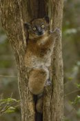 Pete Oxford - Red-tailed Sportive Lemur in tree trunk, Zombitse Reserve, Madagascar