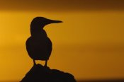 Pete Oxford - Blue-footed Booby silhouetted at sunset, Galapagos Islands, Ecuador