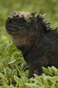 Pete Oxford - Marine Iguana, Santa Cruz Island, Galapagos Islands, Ecuador