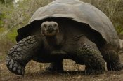 Pete Oxford - Indefatigable Island Tortoise, Santa Cruz Island, Galapagos Islands, Ecuador