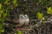 Pete Oxford - Red-footed Boobies on nest in mangroves, Galapagos Islands, Ecuador