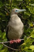 Pete Oxford - Red-footed Booby portrait mangroves, Galapagos Islands, Ecuador