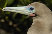 Pete Oxford - Red-footed Booby close up portrait, Genovesa Island, Galapagos Islands, Ecuador