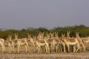 Pete Oxford - Indian Wild Ass herd in arid habitat, Rann of Kutch, Gujarat, India