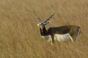 Pete Oxford - Blackbuck male, Velavadar National Park, Gujarat, India