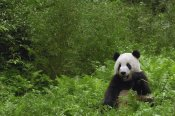 Pete Oxford - Giant Panda near bamboo grove, Wolong Reserve, Sichuan Province