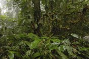 Pete Oxford - Primary rainforest, western slope of Andes Mountains, Ecuador