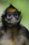 Pete Oxford - White-bellied Spider Monkey portrait,  Amazon Rainforest, Ecuador