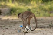 Pete Oxford - White-fronted Capuchin with soccer ball, Amazon Rainforest, Ecuador
