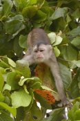 Pete Oxford - White-fronted Capuchin in trees, Puerto Misahualli, Amazon Rainforest, Ecuador