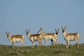 Pete Oxford - Pronghorn Antelope herd, Wyoming
