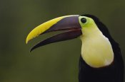 Pete Oxford - Chestnut-mandibled Toucan , Choco Forest, Ecuador