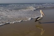 Pete Oxford - Australian Pelican on beach, North Stradbroke Island, Australia