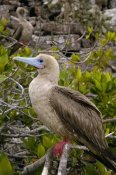 Pete Oxford - Red-footed Booby , Tower Island, Galapagos Islands, Ecuador