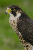 Pete Oxford - Peregrine Falcon portrait, Ecuador