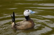Pete Oxford - White-headed Duck male, England
