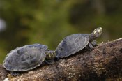Pete Oxford - Yellow-spotted Amazon River Turtle pair basking, Amazon, Ecuador