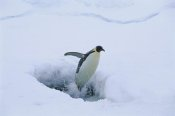 Pete Oxford - Emperor Penguin leaping from seal breathing hole in ice, Antarctica