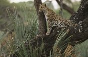 Pete Oxford - Leopard in tree searching for prey, Okavango Delta, Botswana