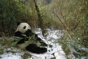 Pete Oxford - Giant Panda eating bamboo, Wolong Valley, China