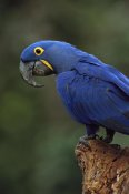 Pete Oxford - Hyacinth Macaw perched on branch, Cerrado habitat, Brazil