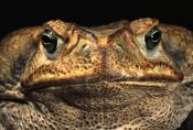 Pete Oxford - Cururu Toad close-up of face, Cerrado, Piaui State, Brazil