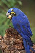 Pete Oxford - Hyacinth Macaw eating Piassava Palm nuts, Cerrado, Brazil