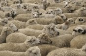 Pete Oxford - Domestic Sheep herd, Chimborazo, Andes Mountains, Ecuador