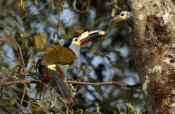Pete Oxford - Plate-billed Mountain Toucanfeeding young, Andes Mountains, Ecuador