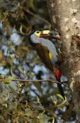 Pete Oxford - Plate-billed Mountain Toucan feeding young, Andes Mountains, Ecuador