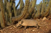 Pete Oxford - Yellow Armadillo walking beneath a cactus, Caatinga habitat, South America